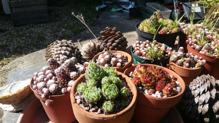 Alpines and succulents